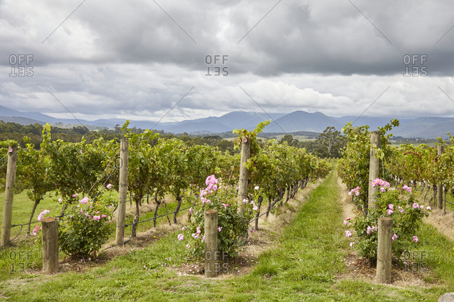 Flowers at the end of rows of grapevines in a vineyard in the Yarra Valley in Victoria, Australia