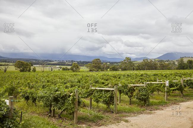 Green vines in a vineyard in the Yarra Valley in Victoria, Australia