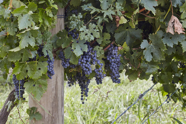 Black grapes growing on a grapevine in a vineyard in the Yarra Valley in Victoria, Australia
