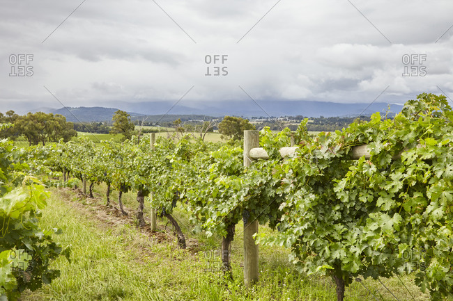 Lush grapevines growing in a vineyard in the Yarra Valley in Victoria, Australia