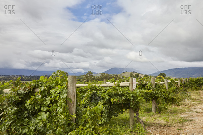 Grapevines growing in a vineyard in the Yarra Valley in Victoria, Australia