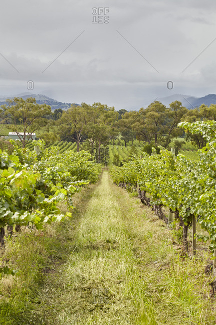 Path between grapevines growing in a vineyard in the Yarra Valley in Victoria, Australia