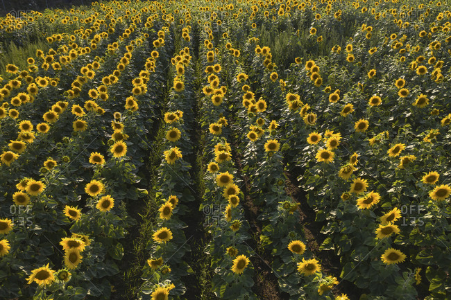 Germany- Brandenburg- Drone view of sunflowers blooming in field