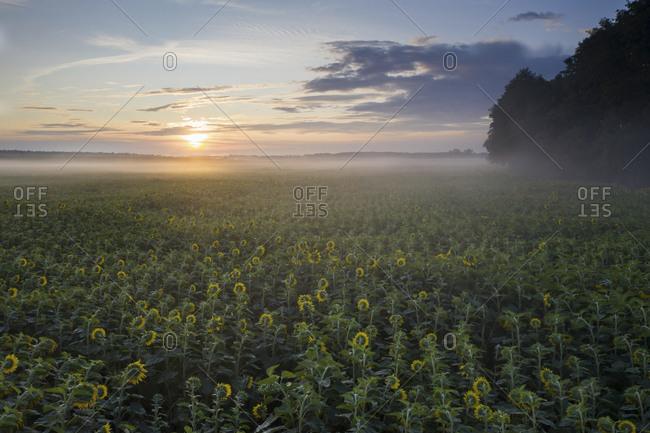 Germany- Brandenburg- Drone view of vast sunflower field at foggy sunrise