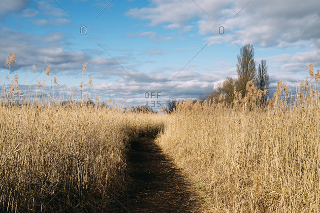 Germany- Baden-Wurttemberg- Empty footpath through yellow reeds