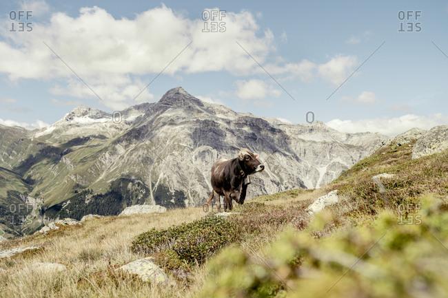 Cow on an Alpine meadow- Graubuenden- Switzerland