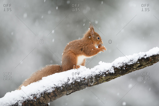 Eurasian red squirrel with hazelnut on snow-covered tree trunk