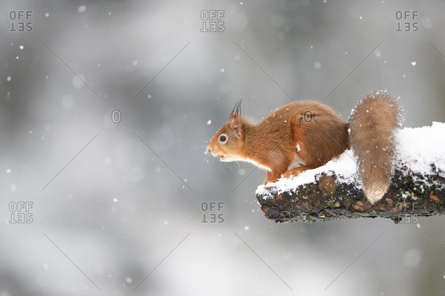Eurasian red squirrel on snow-covered tree trunk