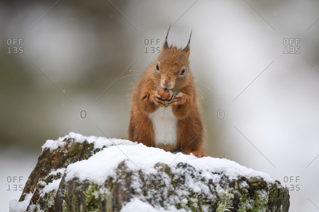 Eurasian red squirrel eating hazelnut on snow-covered tree trunk