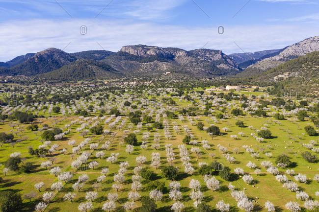 Spain- Balearic Islands- Bunyola- Aerial view of almond trees in springtime orchard of Serra de Tramuntana