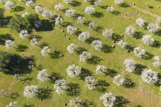 Spain- Balearic Islands- Bunyola- Aerial view of flock of sheep grazing in almond orchard