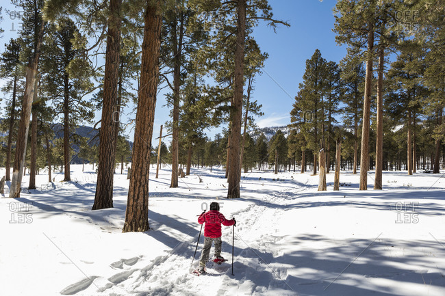 Rear view of young boy in a red jacket snow shoeing on a trail through trees.