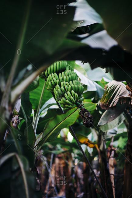 Green bananas on a tree in La Palma, Spain
