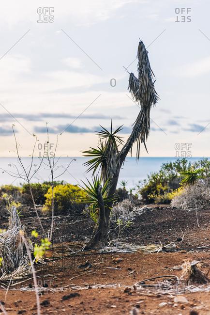 Banana tree on the coast of La Palma, Spain