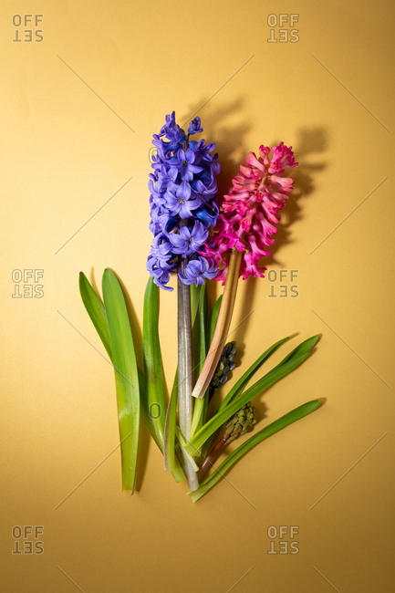 Two hyacinth blossom on yellow surface