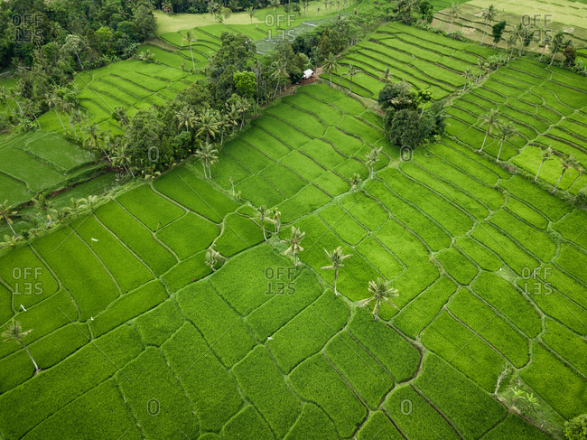 Aerial view of rice fields at Licin, Banyuwangi Regency, East Java, Indonesia