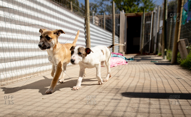 Front view of two rescued abandoned dogs in an animal shelter, walking together through a cage.