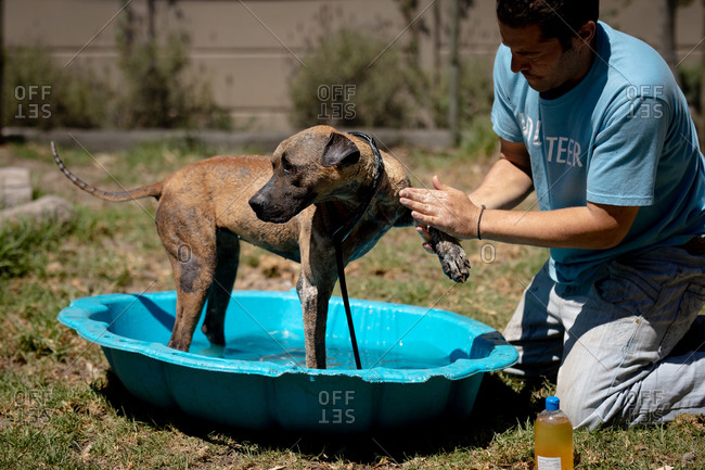 Side view of a male volunteer at an animal shelter, washing a dog standing in a blue plastic bathtub on a sunny day.