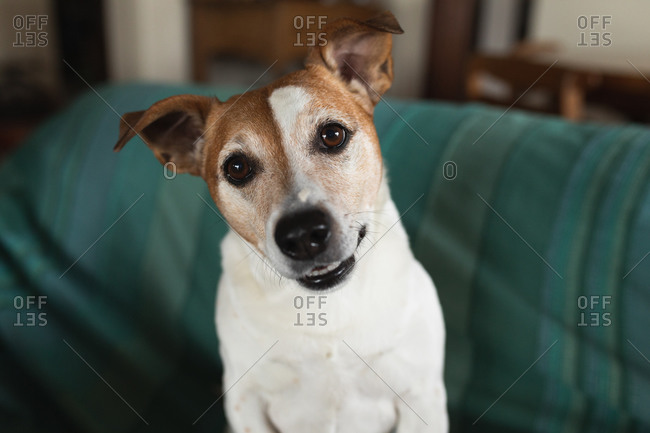 Front view of a cute pet dog sitting on the sofa in a living room and looking up at camera