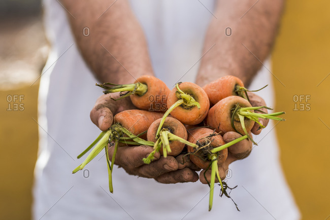 Close-up of farmer holding fresh carrots at a market