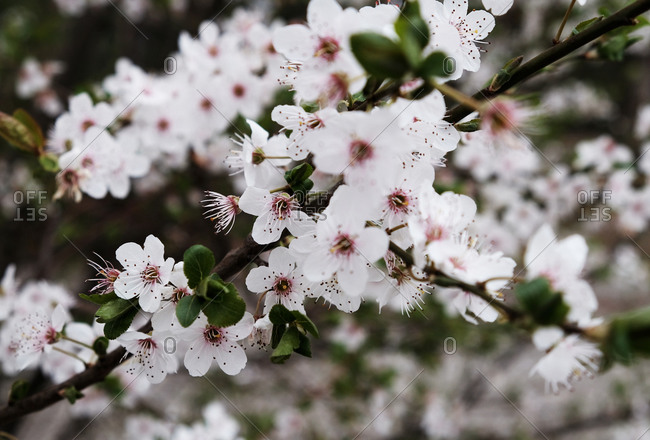 Beautiful close-up of cherry blossoms in the spring
