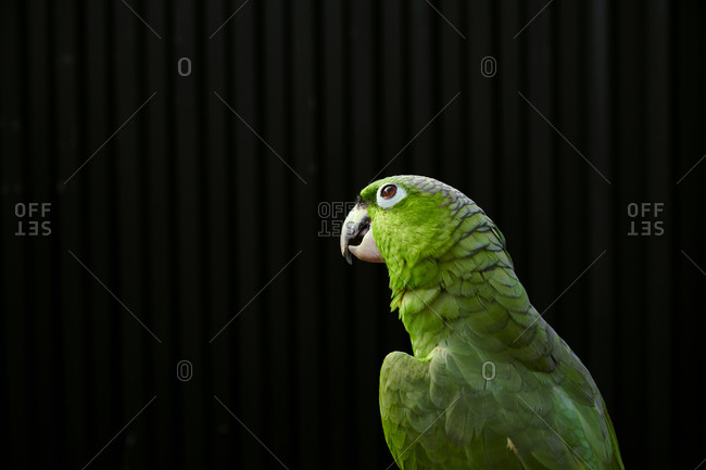 Tranquil pensive Amazon parrot with bright green feathers