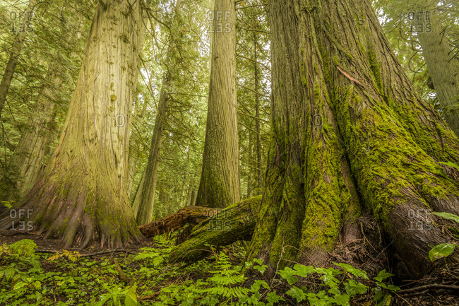 Giant Trees in Old Growth Forest, Nelson, British Columbia