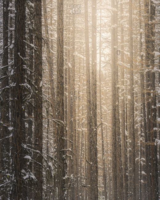 Sun shining through the trees in a winter forest
