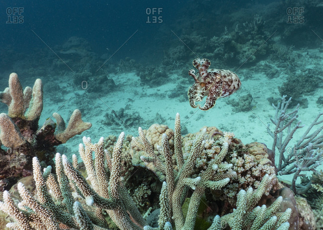 A cuttlefish at the great Barrier Reef