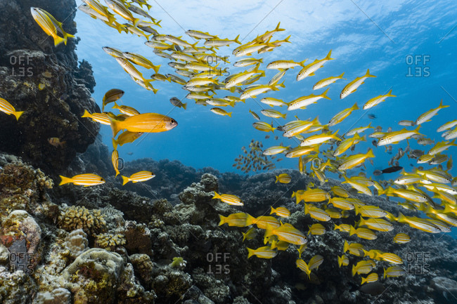 A shoal of yellow snappers at the great barrier reef