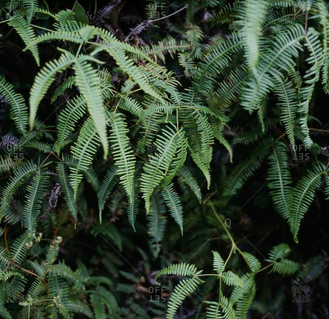 Old World Forked Fern Leaf Medium Format Film Photo