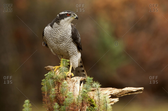 Adult male of Northern goshawk with the last light, Accipiter gentiles