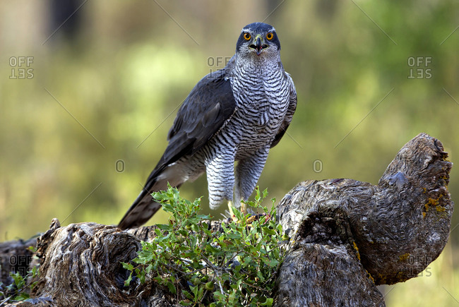 Adult male of Northern goshawk in the morning, Accipiter gentiles