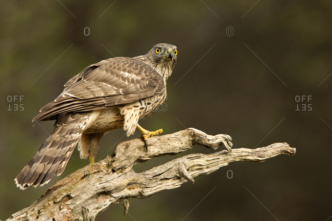 Young female of Northern goshawk, Accipiter gentiles