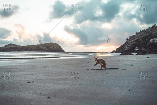 Kangaroo at beach against cloudy sky during sunrise