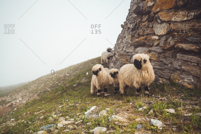 Group of long wool sheep in alpine environment