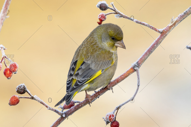 European male goldfinch (chloris chloris), sitting on a branch on a homogeneous blurred background.
