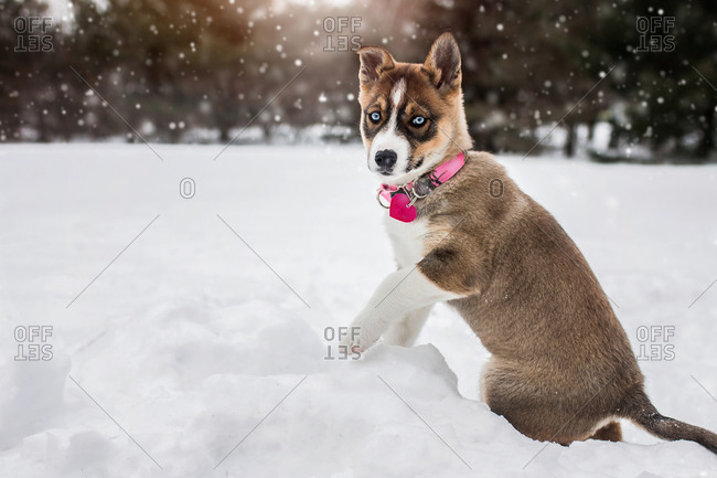 Husky blue eyed puppy dog plays outside in the winter snow