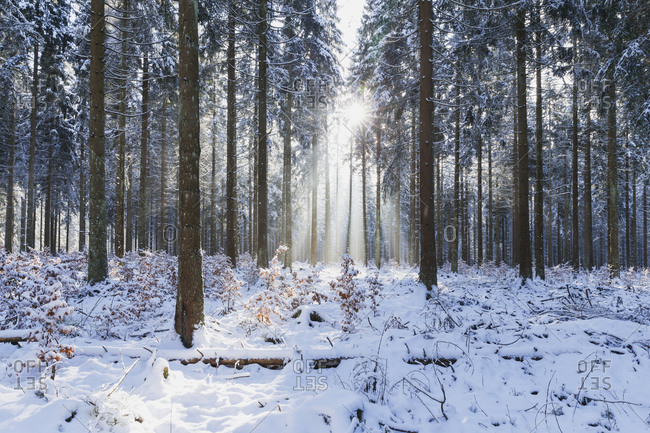Germany- North Rhine-Westafalia- Sunlight illuminating snow-covered forest in Eifel National Park