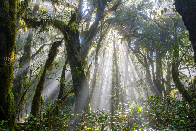 Spain- Province of Santa Cruz de Tenerife- Sunlight piercing branches of forest trees in Garajonay National Park