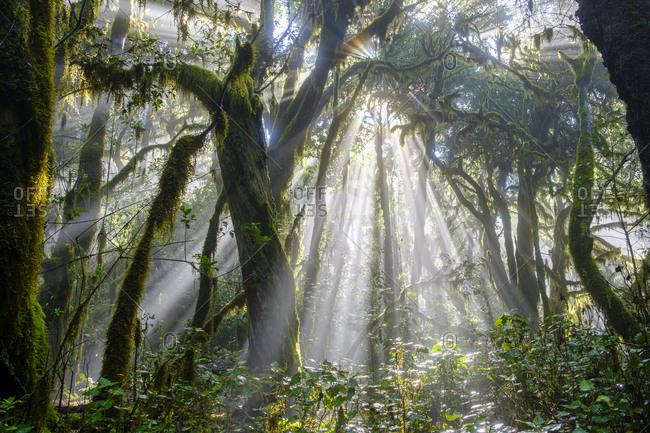 Spain- Province of Santa Cruz de Tenerife- Sunlight piercing branches of forest trees in Garajonay National Park