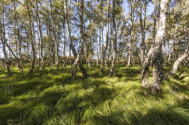 Germany- Mecklenburg-Western Pomerania- Birch grove in spring