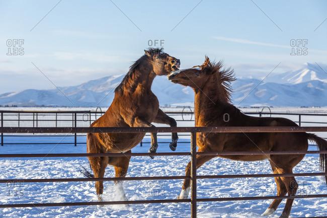 Brown horses in paddock during winter