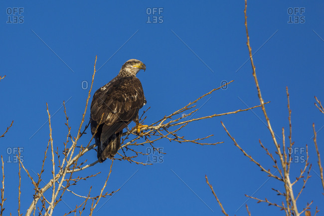 Eagle perching in bare tree