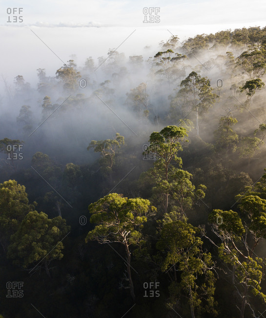 Aerial view of sunrise rays through foggy trees in Western Tasmania, Australia