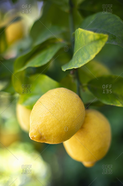 Lemons growing on a lemon tree