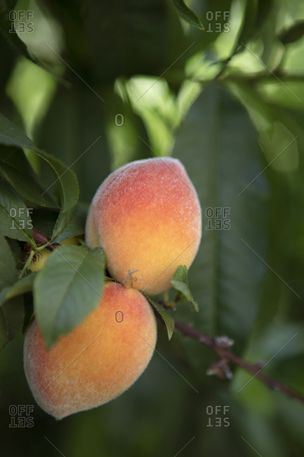 Fuzzy peaches growing on a tree