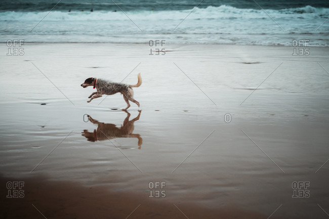 Hound running on an empty beach seashore
