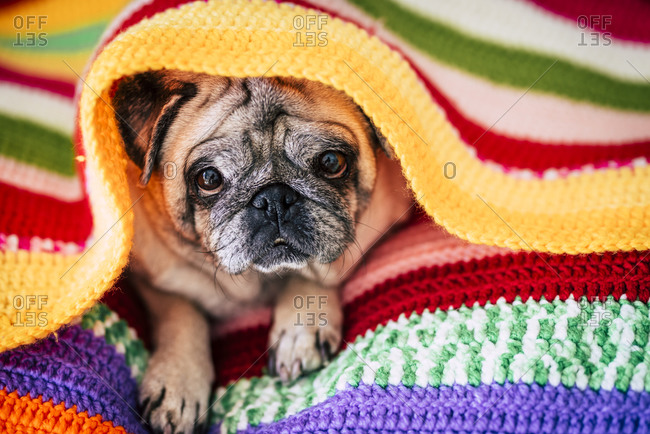 Pug lying under colorful knit blanket