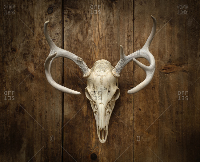 Wall mounted deer skull with antlers